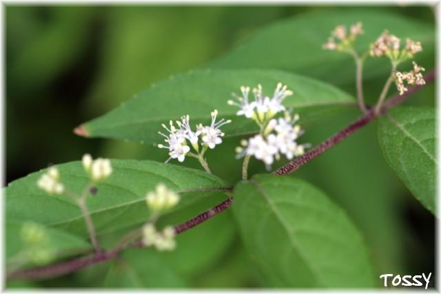 ムラサキシキブ花と枝