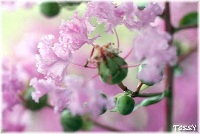 ピンク サルスベリ1