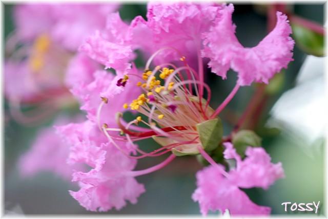 ピンク サルスベリ2