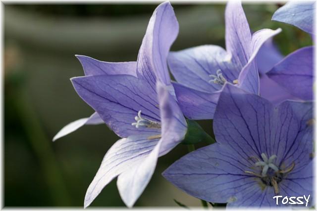 キキョウ紫