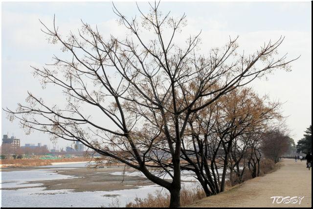センダンの木 冬