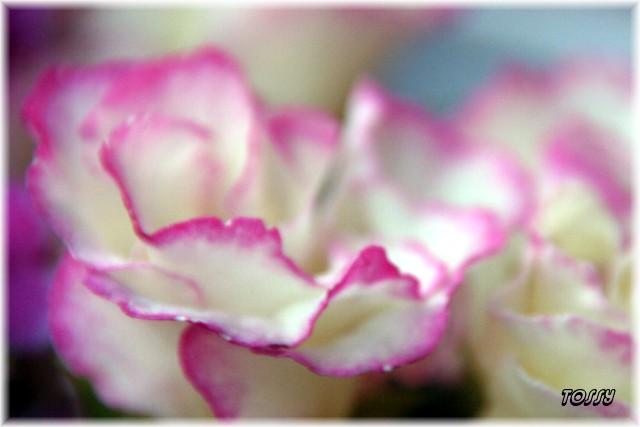 バラ咲き ポリアンサ3