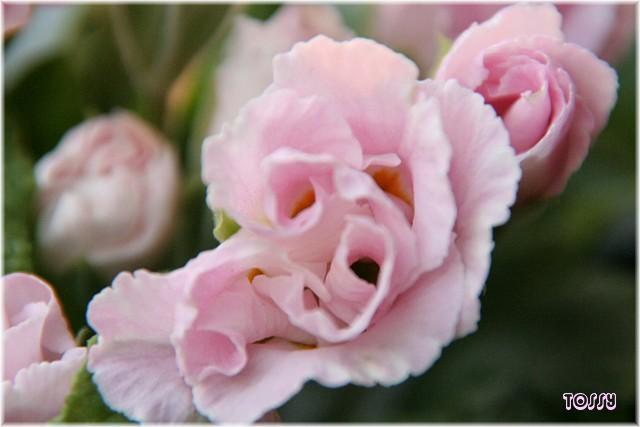 バラ咲き ポリアンサ2
