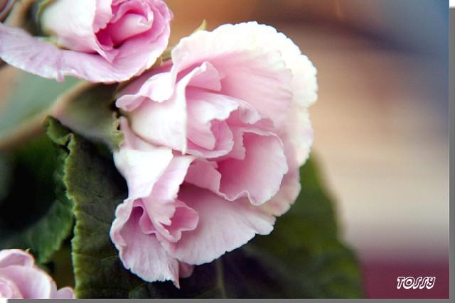 バラ咲き ポリアンサ