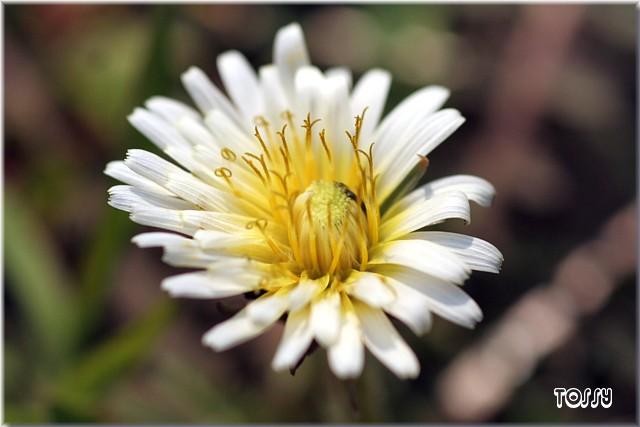 白花タンポポ2