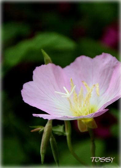 桃色昼咲き月見草2