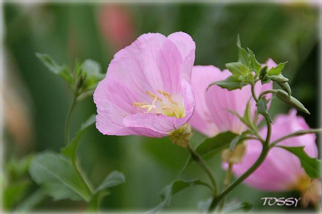 桃色昼咲き月見草1