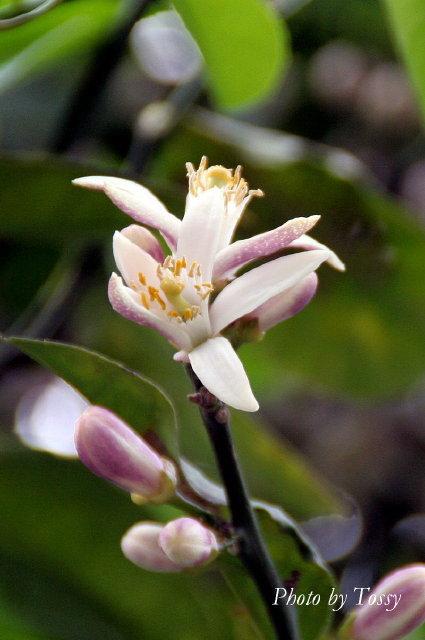 レモンの花2