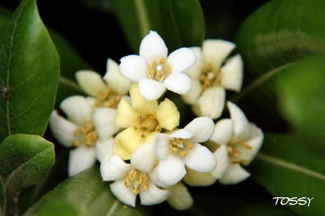 みかんの花