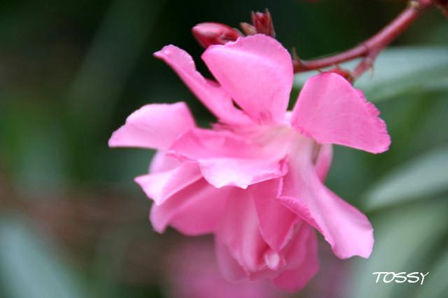ピンクの八重の キョウチクトウ1