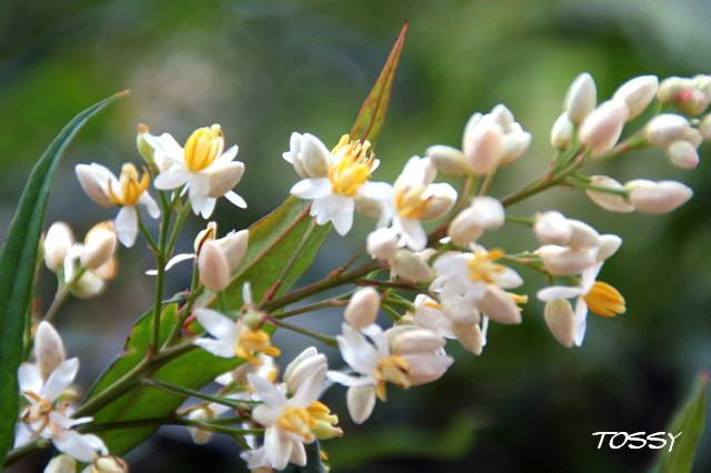 南天の花2