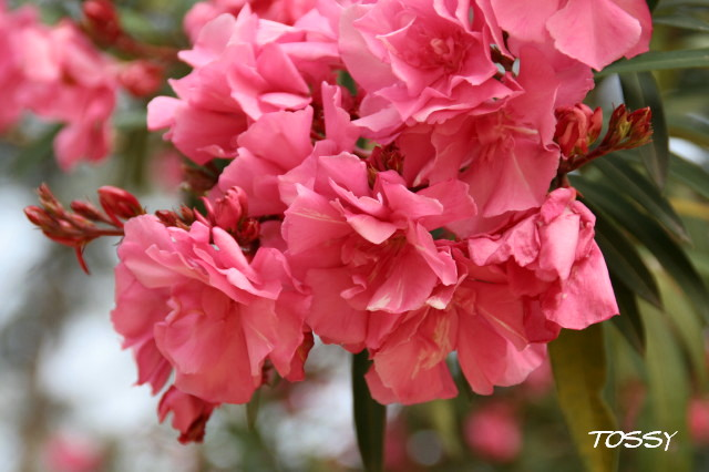 :ピンクの八重の キョウチクトウ2