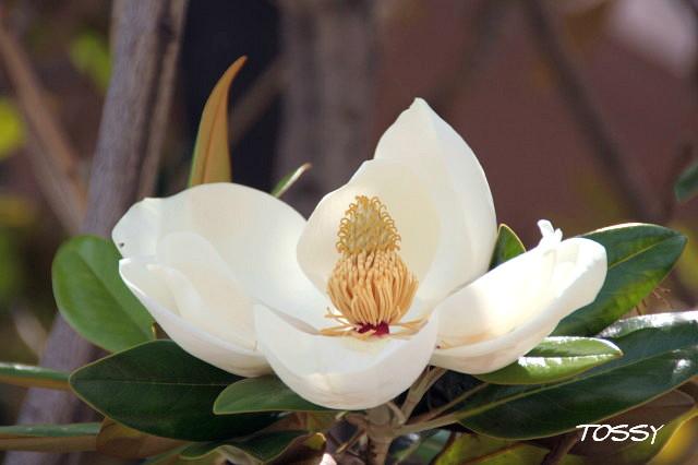 タイサンボク1