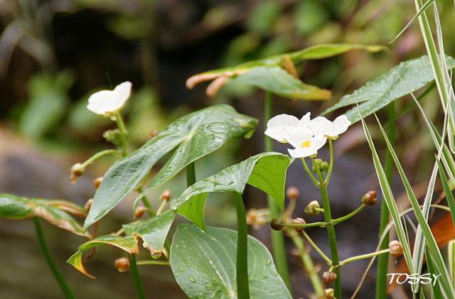 水辺の植物1