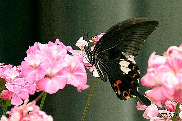 ゼラニュームと黒いチョウ1
