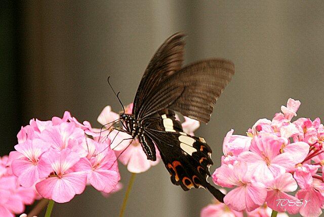 ゼラニュームと黒いチョウ2