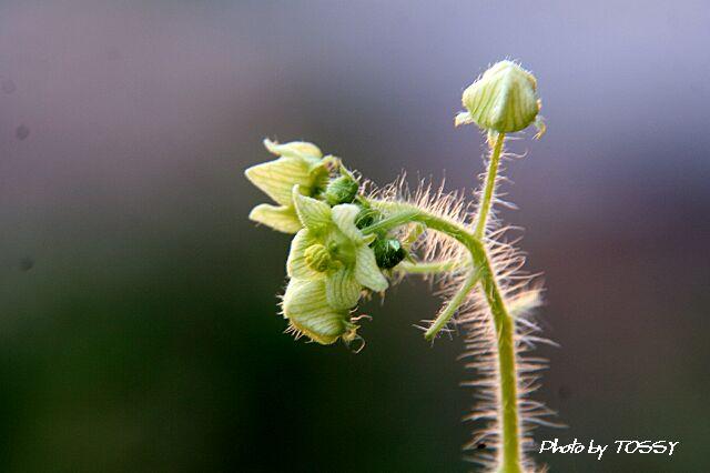 画像1 アレチウリ花