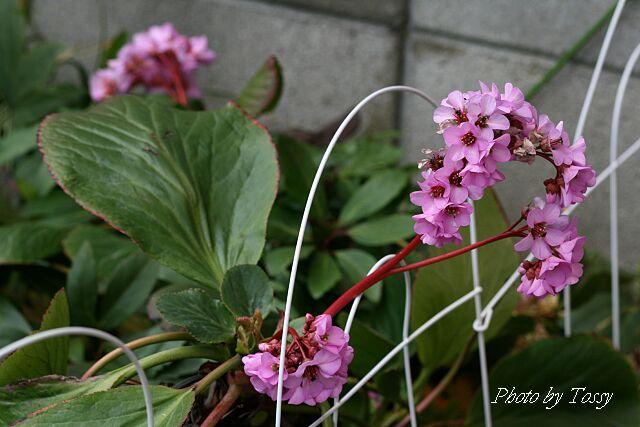 ヒマラヤユキノシタ5