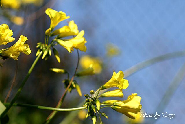 オキザリス黄色5