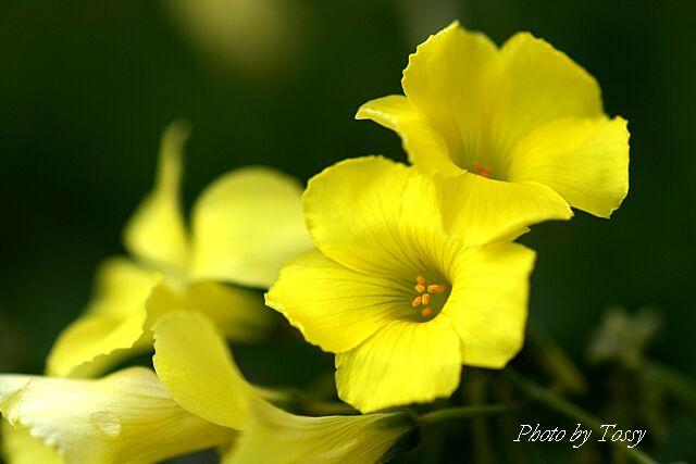 オキザリス黄色1