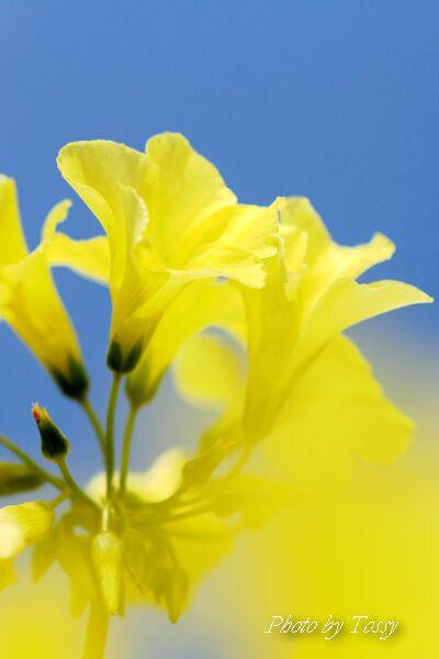 オキザリス黄色4
