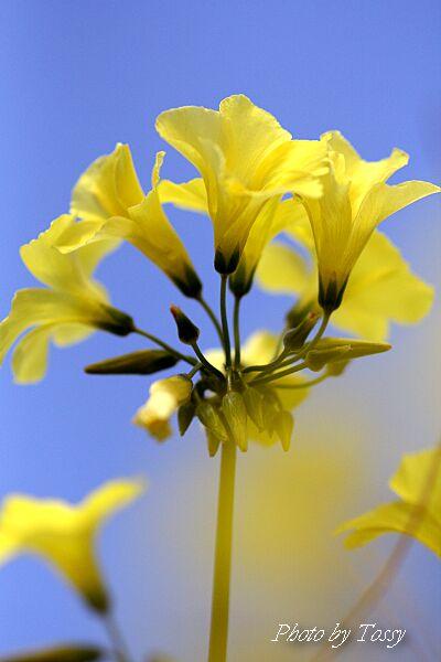 オキザリス黄色3