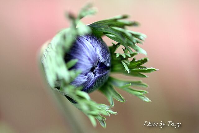 アネモネ つぼみ 紫