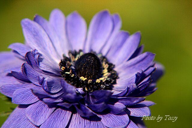 アネモネ4 八重咲き紫