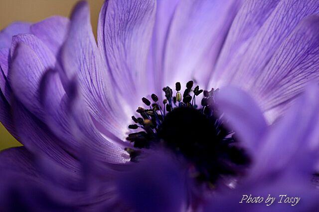 アネモネ5 紫八重咲き