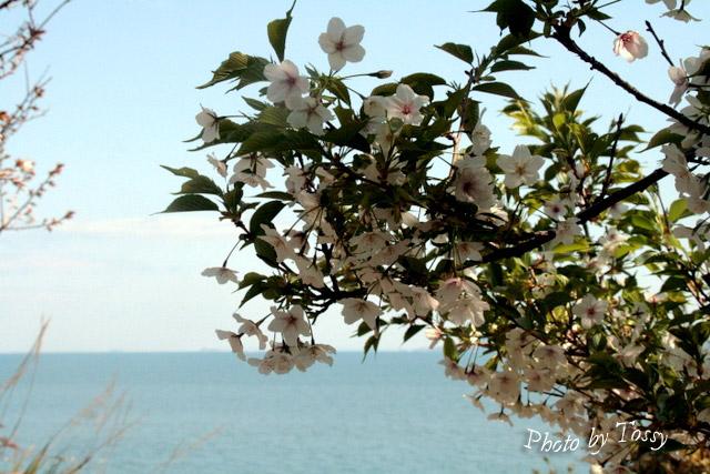 赤穂御崎の桜2