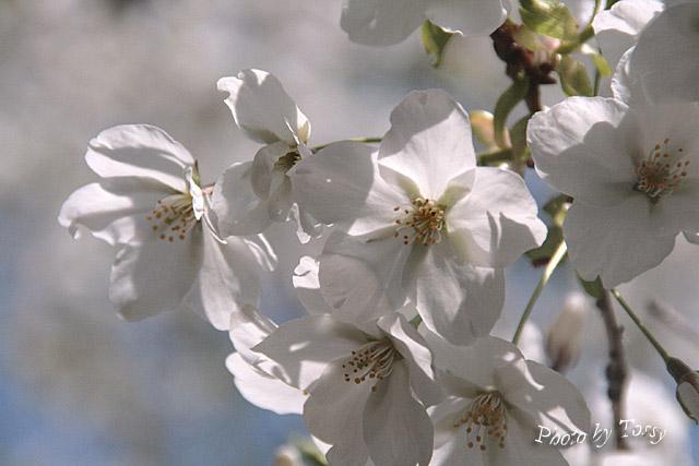 赤穂御崎の桜1