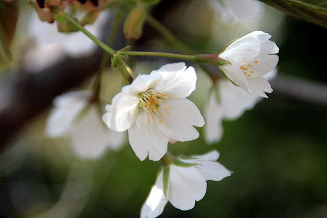 赤穂御崎の桜4