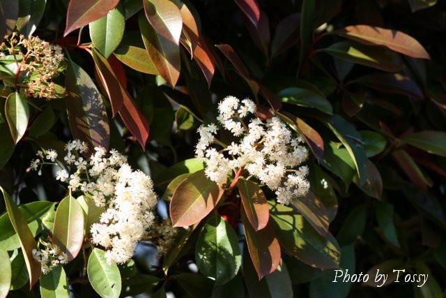 ベニカナメモチ 花