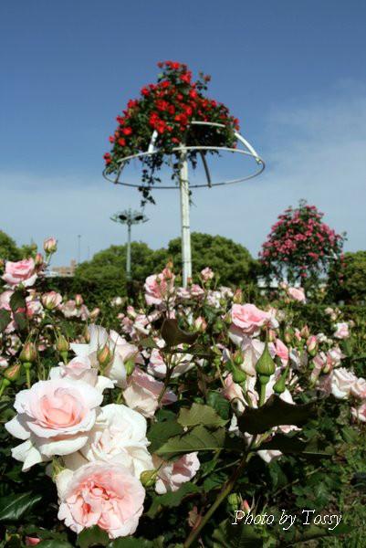画像4 ピンクのバラと赤いアンブレラ
