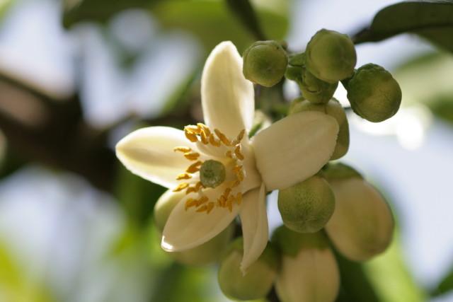 ぶんたん(文旦)の花