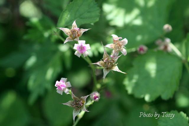 ナワシロイチゴ花2