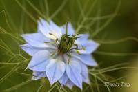 ニゲラ 6 ブルー