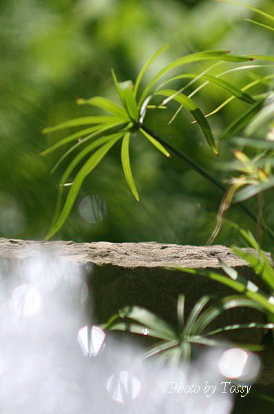 シュロカヤツリ2