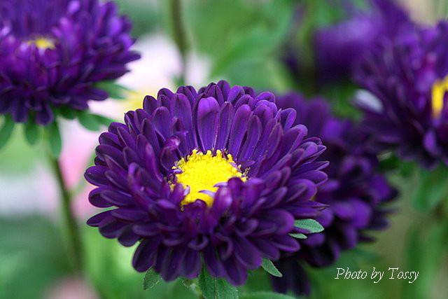 アスター 紫