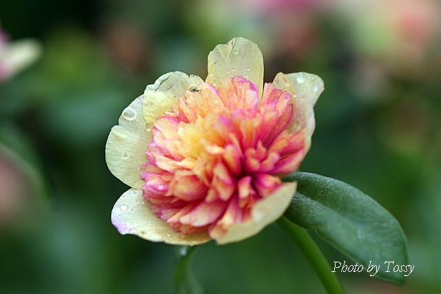 八重咲きポーチュラカ2