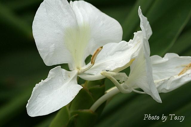 ショウガの花