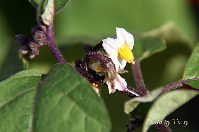 ハナナス 花