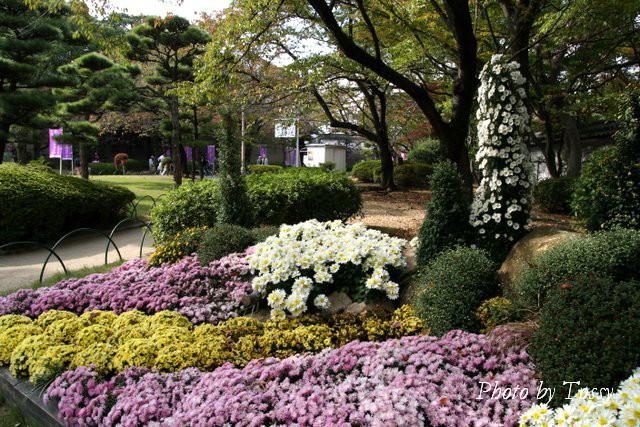 菊の植え込み