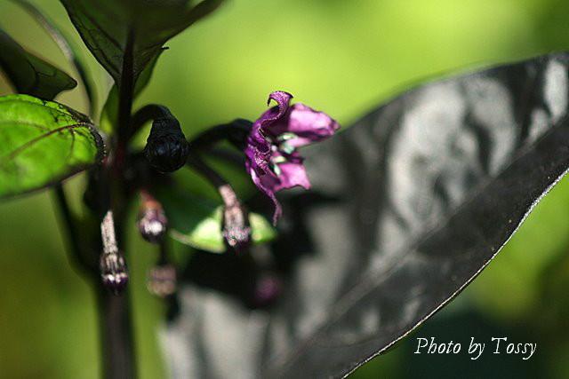 ブラックパール3 花