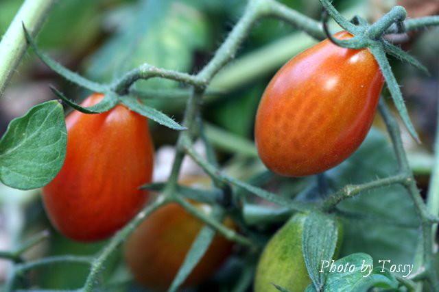 イタリアン・トマト 実