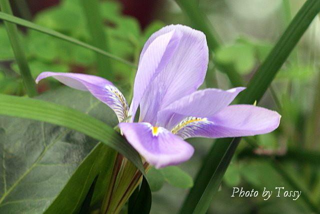 寒咲きアヤメ1