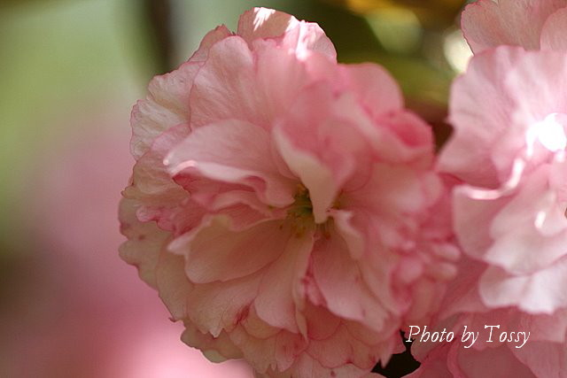 八重桜 ピンク1