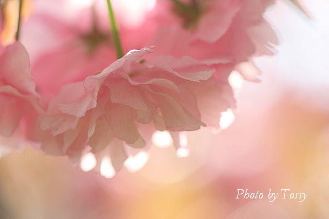 八重桜 ピンク3