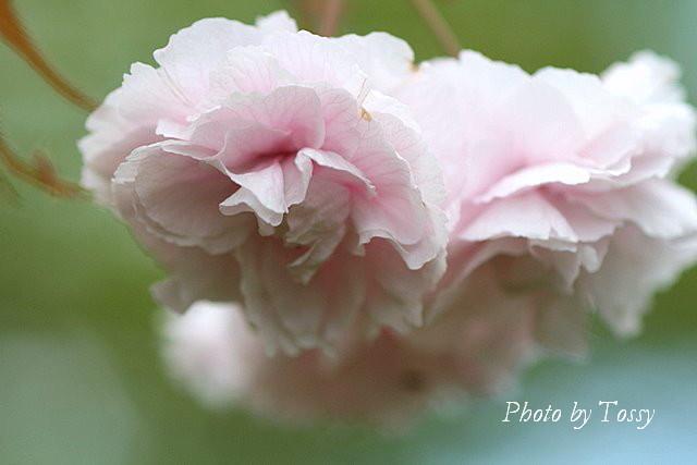 八重桜 ピンク2