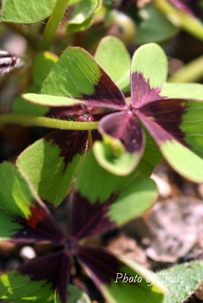 オキザリス 葉